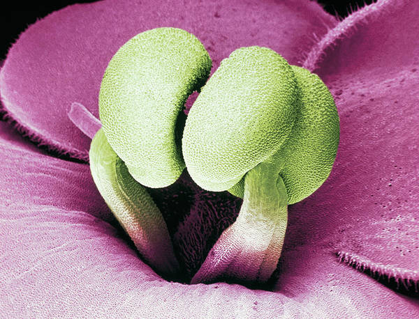 Stamens Photograph - Flower Stamens Of An African Violet by Science Pictures Limited/science Photo Library