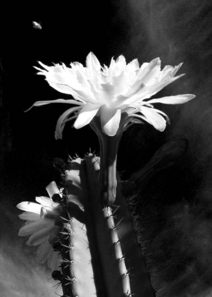 Photograph - Flowering Cactus 3 Bw by Mariusz Kula