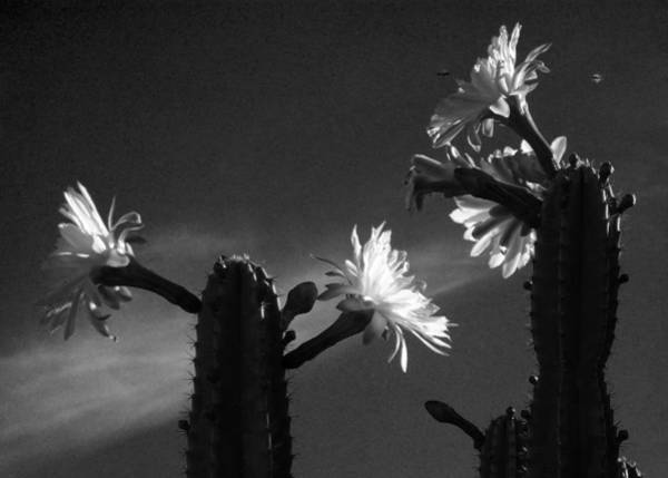 Photograph - Flowering Cactus 4 Bw by Mariusz Kula