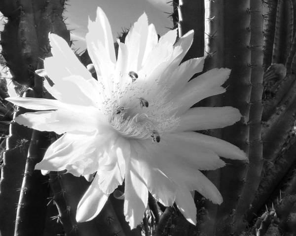 Photograph - Flowering Cactus 5 Bw by Mariusz Kula