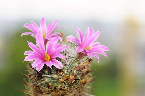 Pistil Wall Art - Photograph - Flowering Cactus by Nekan
