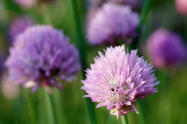 Chive Photograph - Flowering Chives (allium Schoenoprasum) by Maria Mosolova/science Photo Library