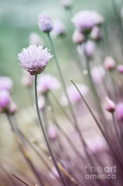 Wall Art - Photograph - Flowering Chives I by Elena Elisseeva