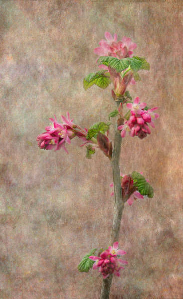 Currants Photograph - Flowering Currant by Angie Vogel