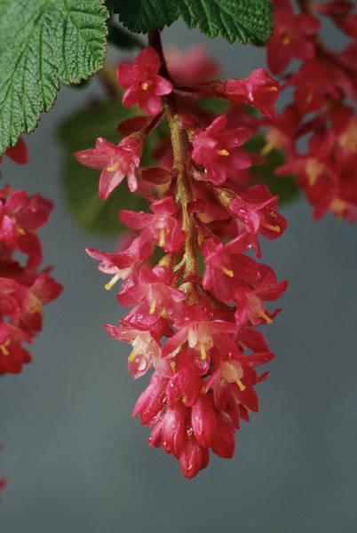 Currants Photograph - Flowering Currant (ribes Sanguineum) by Ann Pickford/science Photo Library