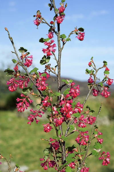Currants Photograph - Flowering Currant (ribes Sanguineum) by Duncan Shaw/science Photo Library