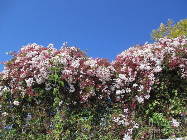 Photograph - Flowering Hedge by Chani Demuijlder