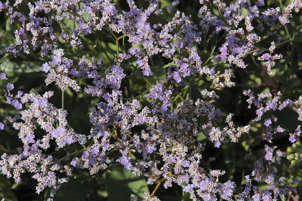 Plumbaginaceae Photograph - Flowering Lamsoor by Ronald Jansen