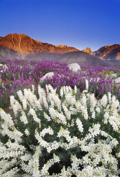 Photograph - Flowering Lupins by Frans Lanting MINT Images