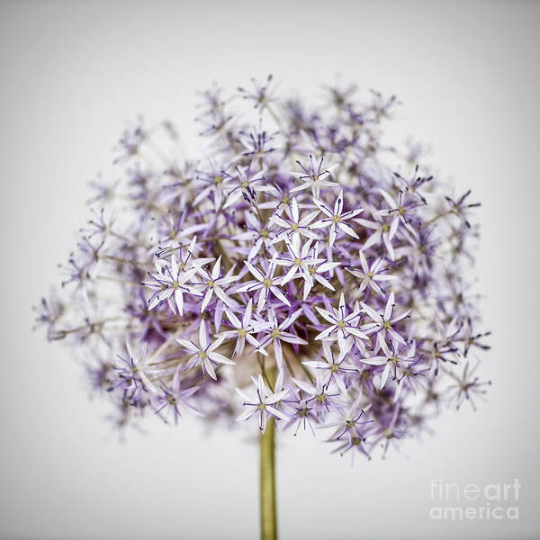 Flower Head Photograph - Flowering Onion Flower by Elena Elisseeva