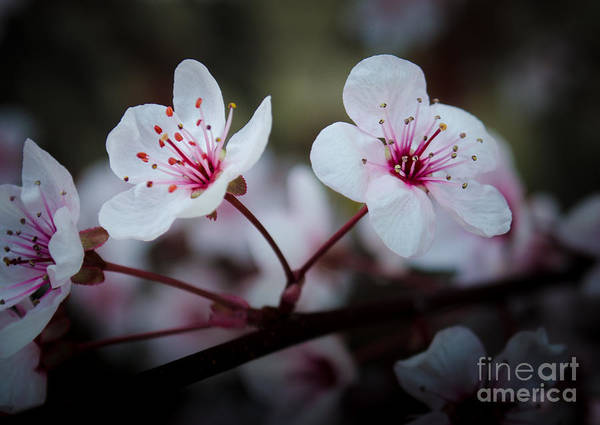 Photograph - Flowering Plum 1 by Michael Arend