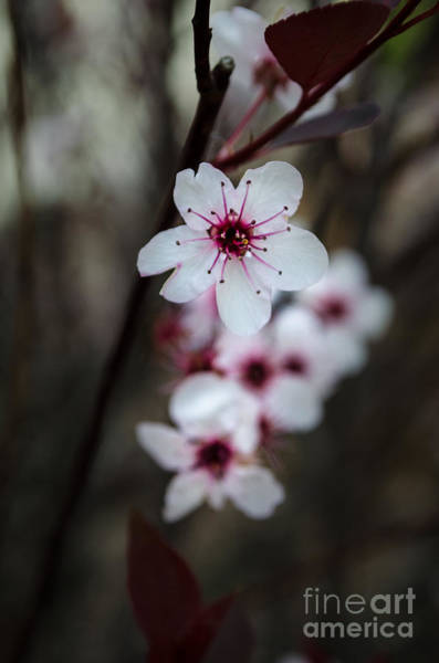 Photograph - Flowering Plum 2 by Michael Arend