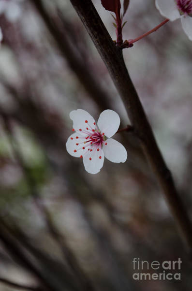 Photograph - Flowering Plum 3 by Michael Arend