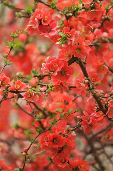 Quince Photograph - Flowering Quince (chaenomeles X Superba Mandarin') by Maria Mosolova/science Photo Library