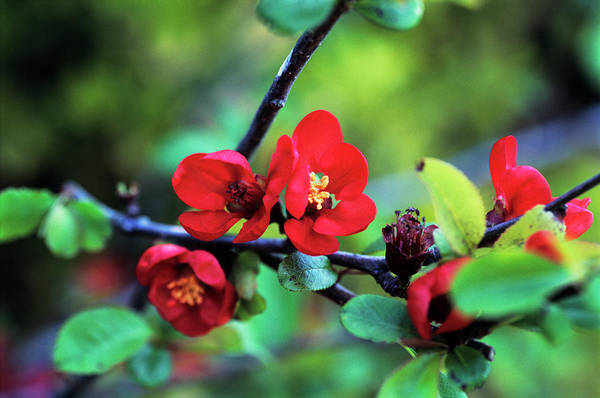 Quince Photograph - Flowering Quince Flowers by Adrian Thomas/science Photo Library