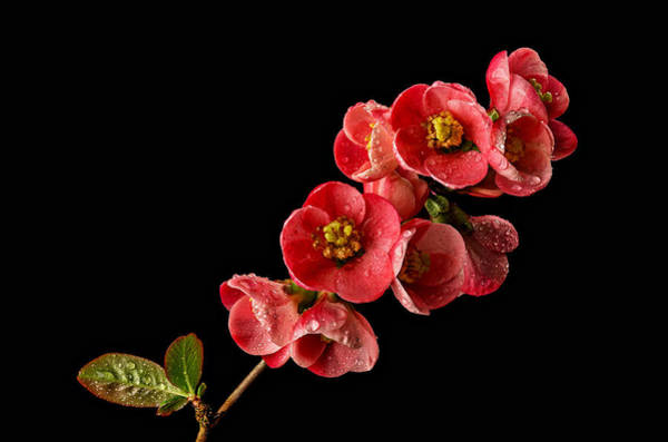 Quince Photograph - Flowering Quince by Mary Jo Allen