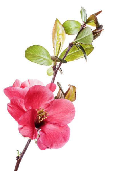 Quince Photograph - Flowering Quince On White by Vishwanath Bhat