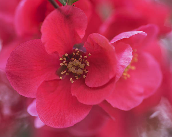 Quince Photograph - Flowering Quince by Vishwanath Bhat