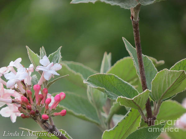 Photograph - Flowering Shrub 1 by Linda L Martin