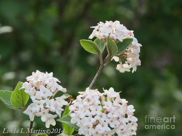 Photograph - Flowering Shrub 3 by Linda L Martin
