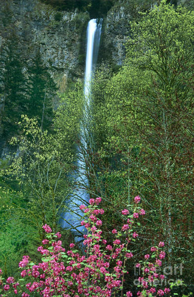 Photograph - Flowering Tree Below Multnomah Falls Columbia River Gorge Nsa Oregon by Dave Welling