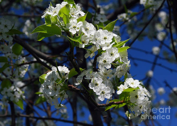 Photograph - Flowering Tree by Geoff Crego