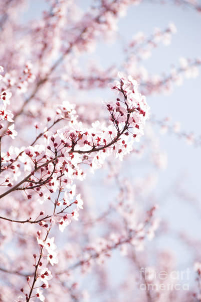 Photograph - Flowering Tree In Spring by Juli Scalzi