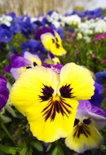 Photograph - Flowers - Beautiful Yellow And Blue Pansies by Matthias Hauser