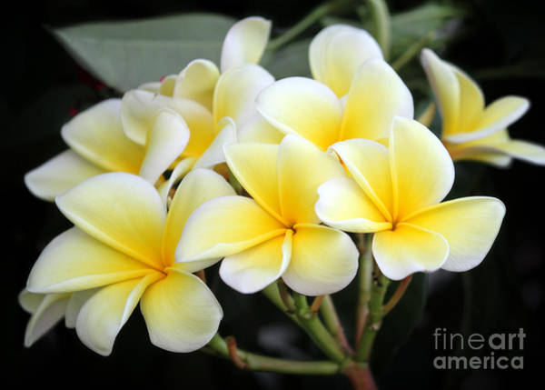 Photograph - Flowers For A Lei by Sabrina L Ryan