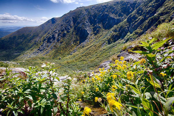 Photograph - Flowers In Tuckerman Ravine by Robert Clifford