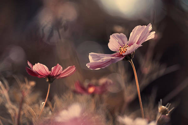 Bokeh Wall Art - Photograph - Flowers Of Innocence by Fabien Bravin