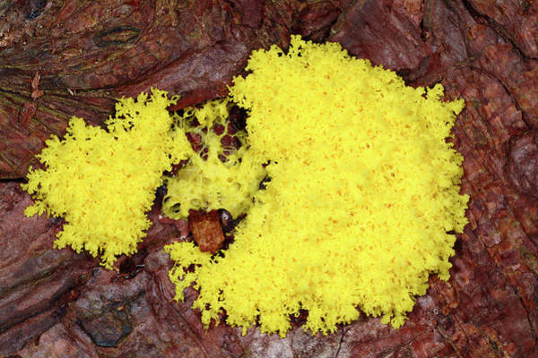 Norfolk Pine Wall Art - Photograph - Flowers Of Tan Slime Mould by Nigel Downer/science Photo Library
