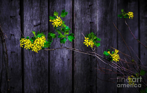 Photograph - Flowers On Abandoned Farm House by Michael Arend