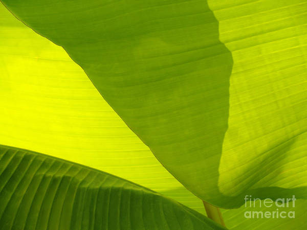 Wall Art - Photograph - Flowing Banana Leaf by Anna Lisa Yoder