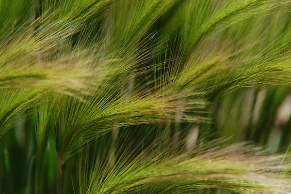 Photograph - Flowing Grasses by Tam Ryan