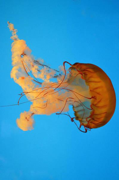 Flowing Jellyfish Art Print