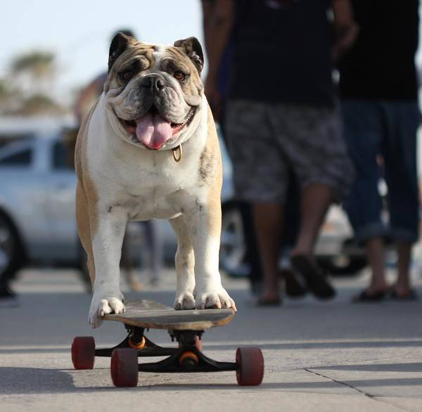 Photograph - Floyd The Skateboarding Dog by Nathan Rupert