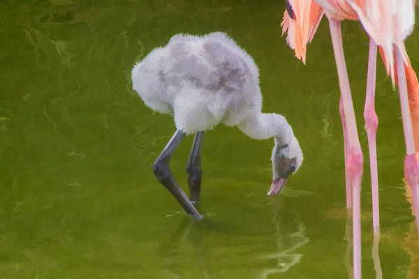 Digital Art - Fluffy Ball Flamingo by Photographic Art by Russel Ray Photos