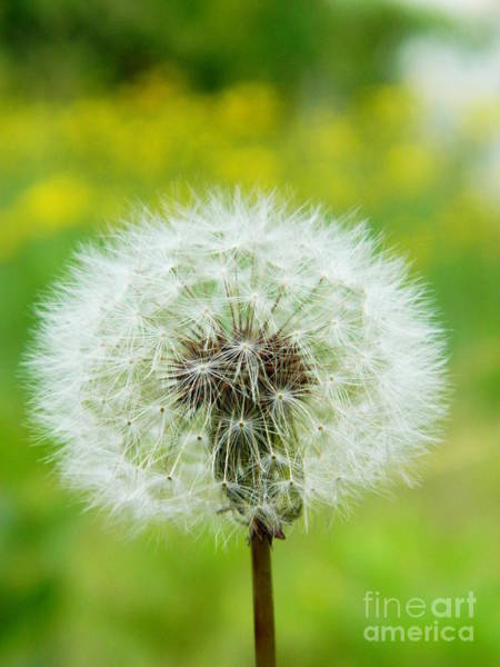 Photograph - Fluffy Dandelion by Andrea Anderegg