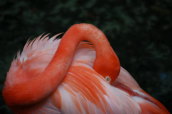 Photograph - Fluffy Flamingo by Donna Proctor
