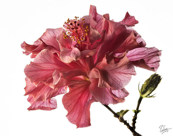 Photograph - Fluffy Pink Hibiscus by Endre Balogh