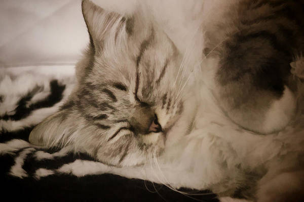 Digital Art - Fluffy Sleeping Cat by Photographic Art by Russel Ray Photos
