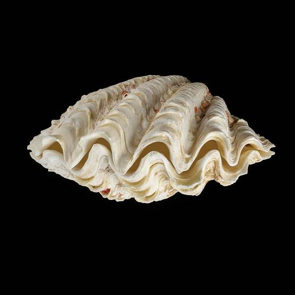 Biological Photograph - Fluted Giant Clam Shell by Science Photo Library
