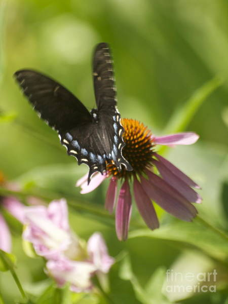 Photograph - Flutter by Patricia A Griffin