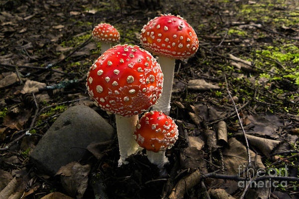 Photograph - Fly Agaric Amanita Muscaria by Ron Sanford