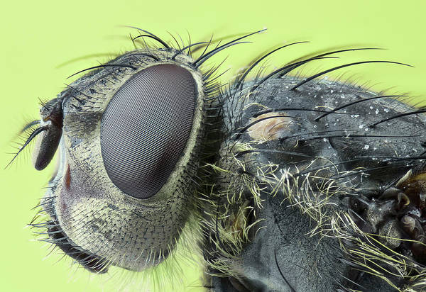 Insect Photograph - Fly Head by Mikroman6