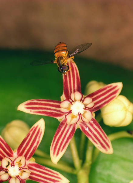 Pollination Photograph - Fly Pollinating Hoya Flower by Dr Morley Read/science Photo Library