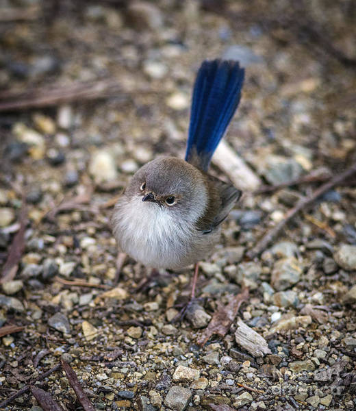 Photograph - Flycatcher by Russell Brown