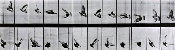 Sequence Photograph - Flying Bird by Eadweard Muybridge