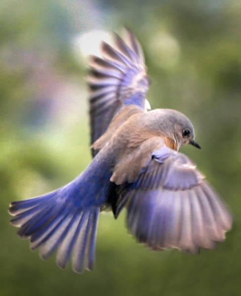 Turdidae Wall Art - Photograph - Flying Bluebird by Jean Noren